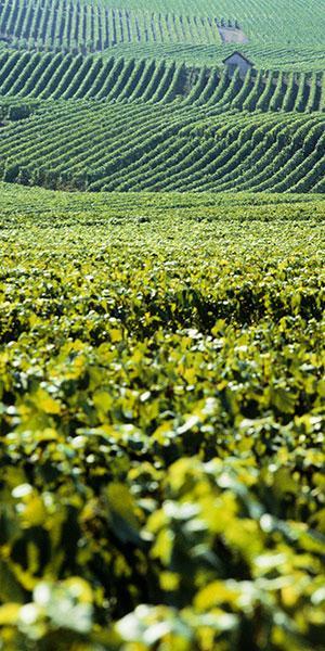 Cabane de vigne - Vignoble Champagne